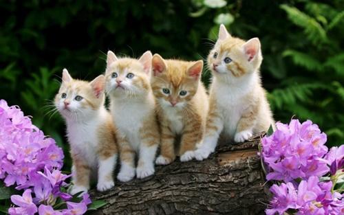 hình ảnh mèo quý tộc