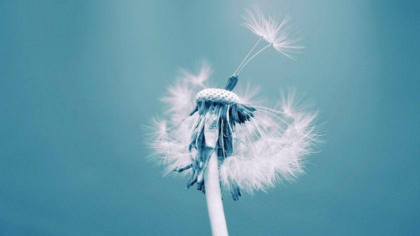 Hình nền bồ công anh trong gió