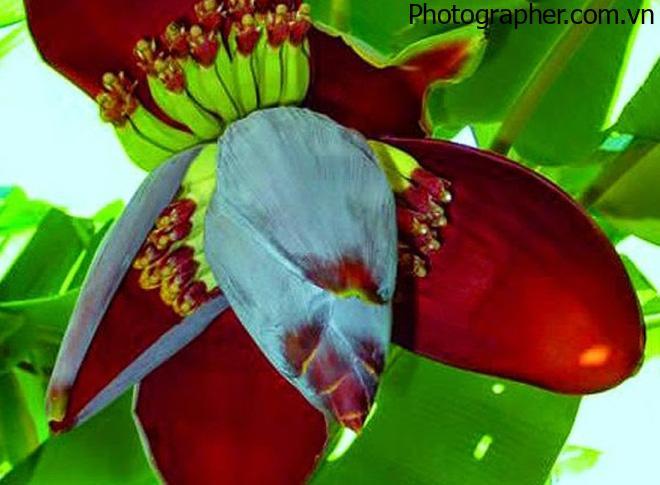 Tổng hợp những hình ảnh hoa chuối đẹp nhất