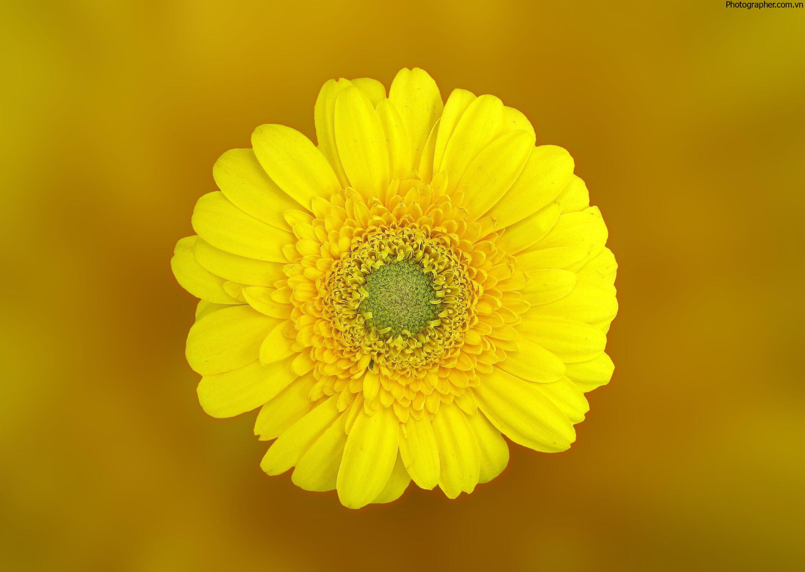 Tổng hợp hình ảnh hoa cúc vàng đẹp nhất