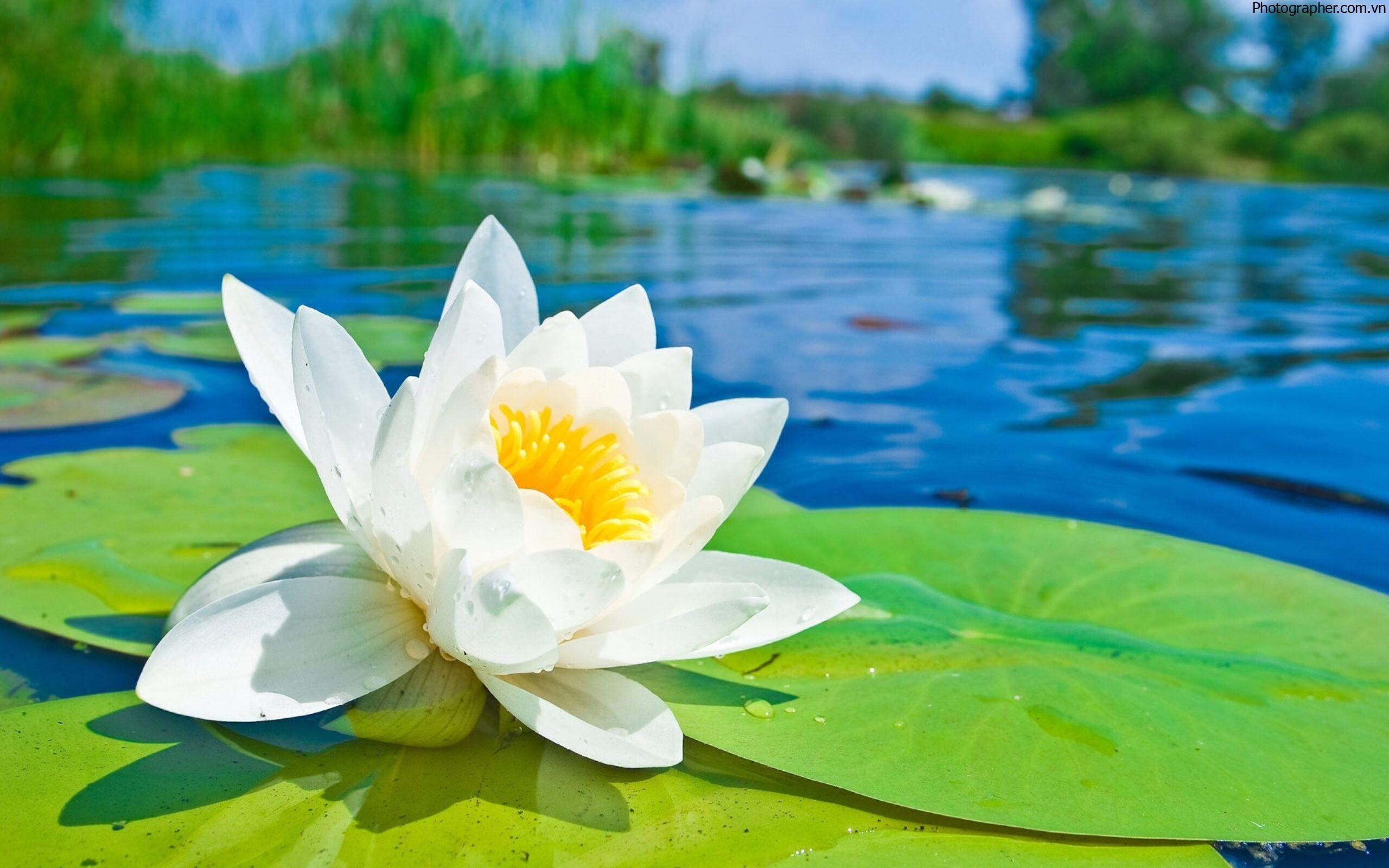 Tuyển tập những hình ảnh hoa sen trắng đẹp nhất