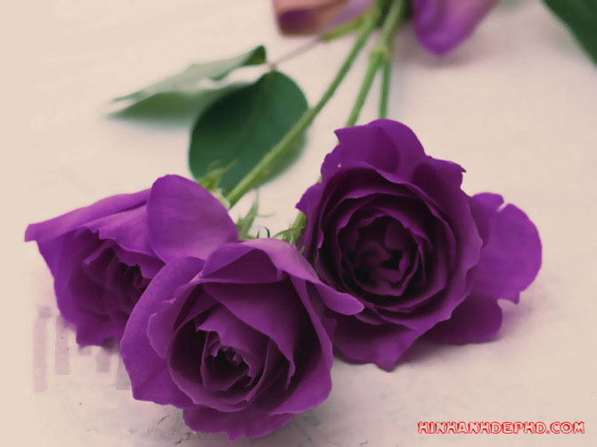 hoa-rose-in-valentine-2018-12
