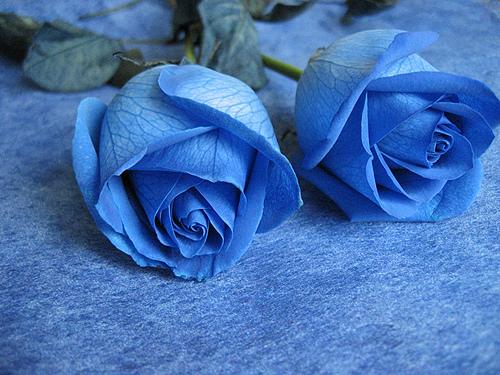 hoa-rose-blue-beautiful-tang-people-love-valentine-12