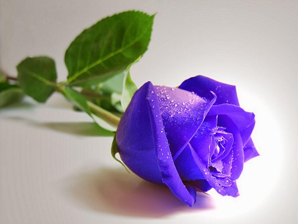 Hoa-hồng-xanh-hình-yêu-dơi-ăn-kiêng