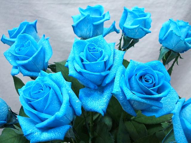 hoa-rose-blue-beautiful-tang-people-love-valentine-4