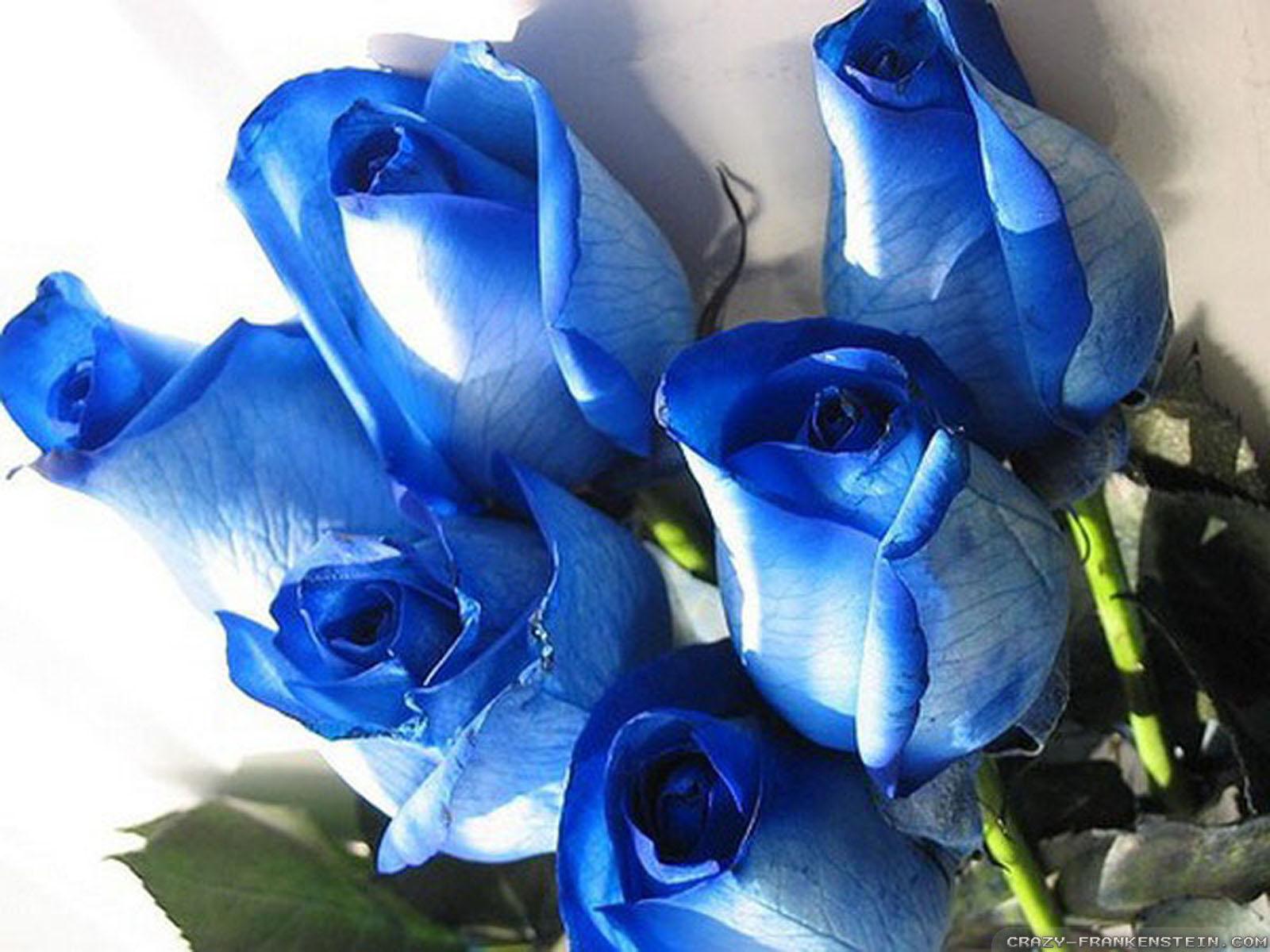 hoa-rose-blue-beautiful-tang-people-love-valentine-8