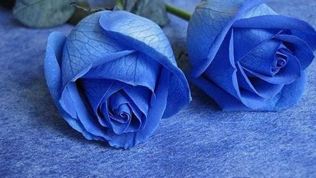 hoa-rose-blue-beautiful-tang-people-love-valentine-9