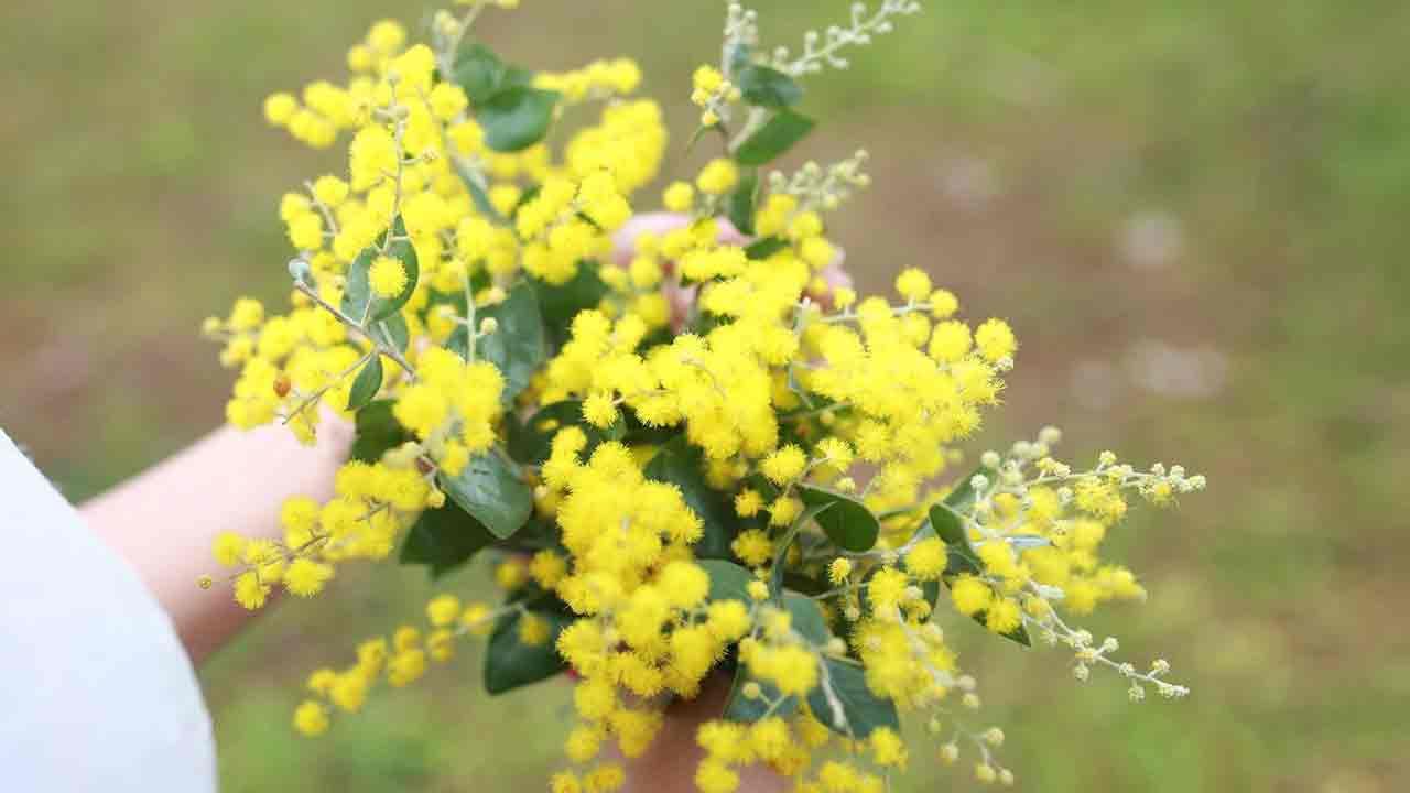 Bộ sưu tập hoa Mimosa đẹp nhất