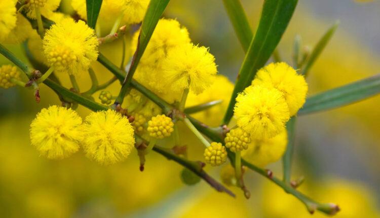 Tổng hợp hình ảnh hoa Mimosa đẹp nhất