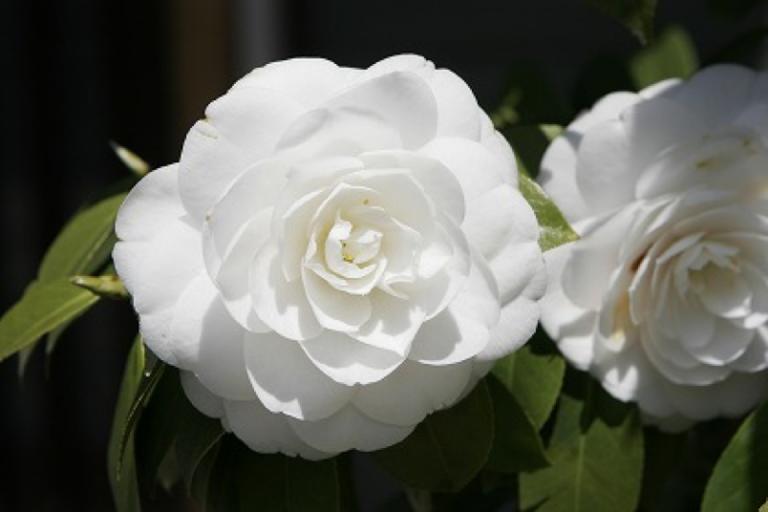 Tổng hợp những hình ảnh hoa trà đẹp nhất