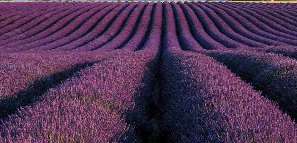 Field-of-flowers-in-the-field-to-show-17