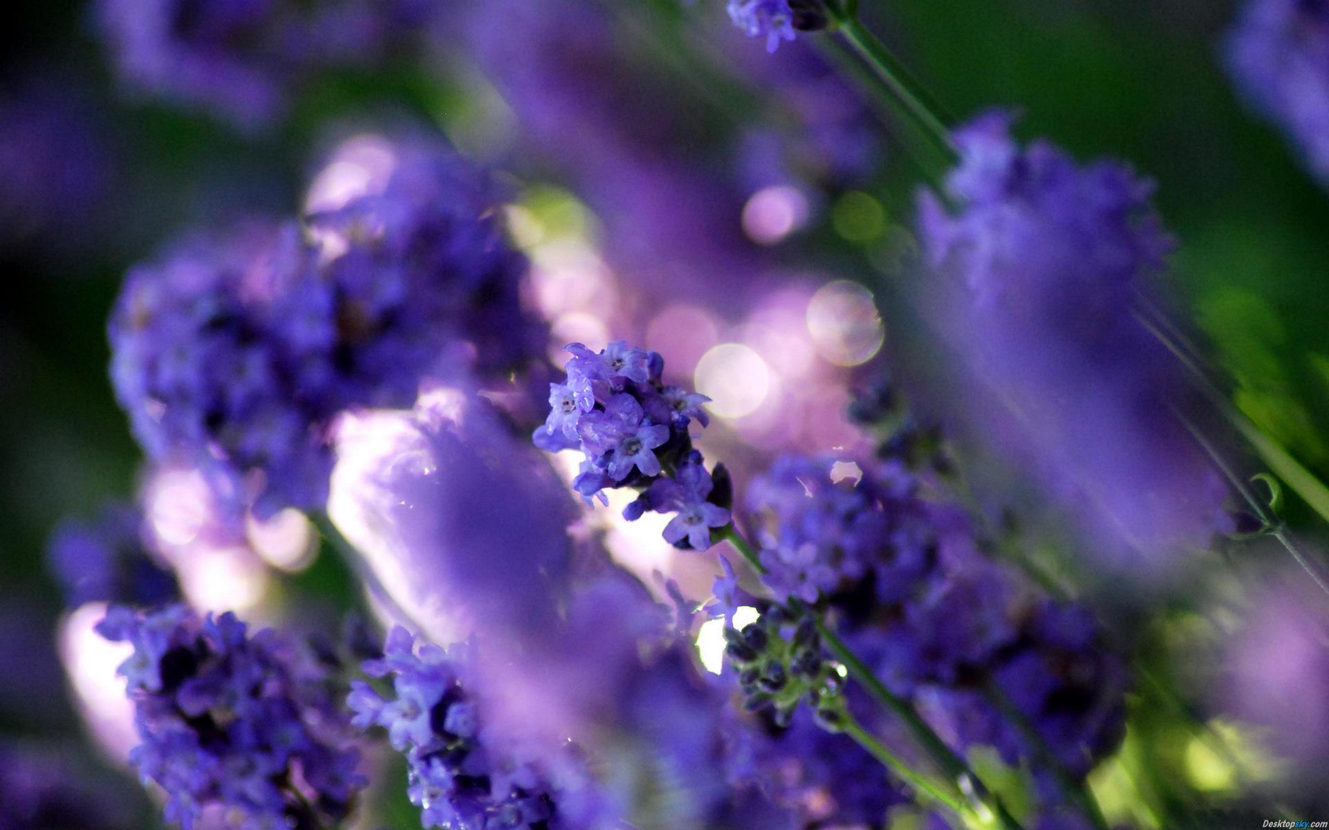 Hình-nền-đẹp-hoa-màu-tim-10