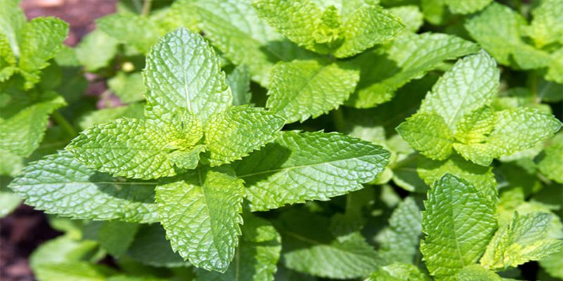 Features of mint