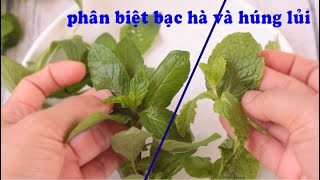 differentiate mint and basil