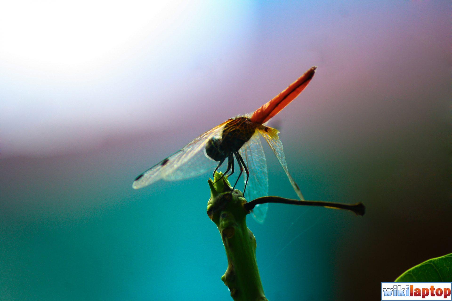 Hình ảnh chuồn chuồn 12 con giáp đẹp nhất