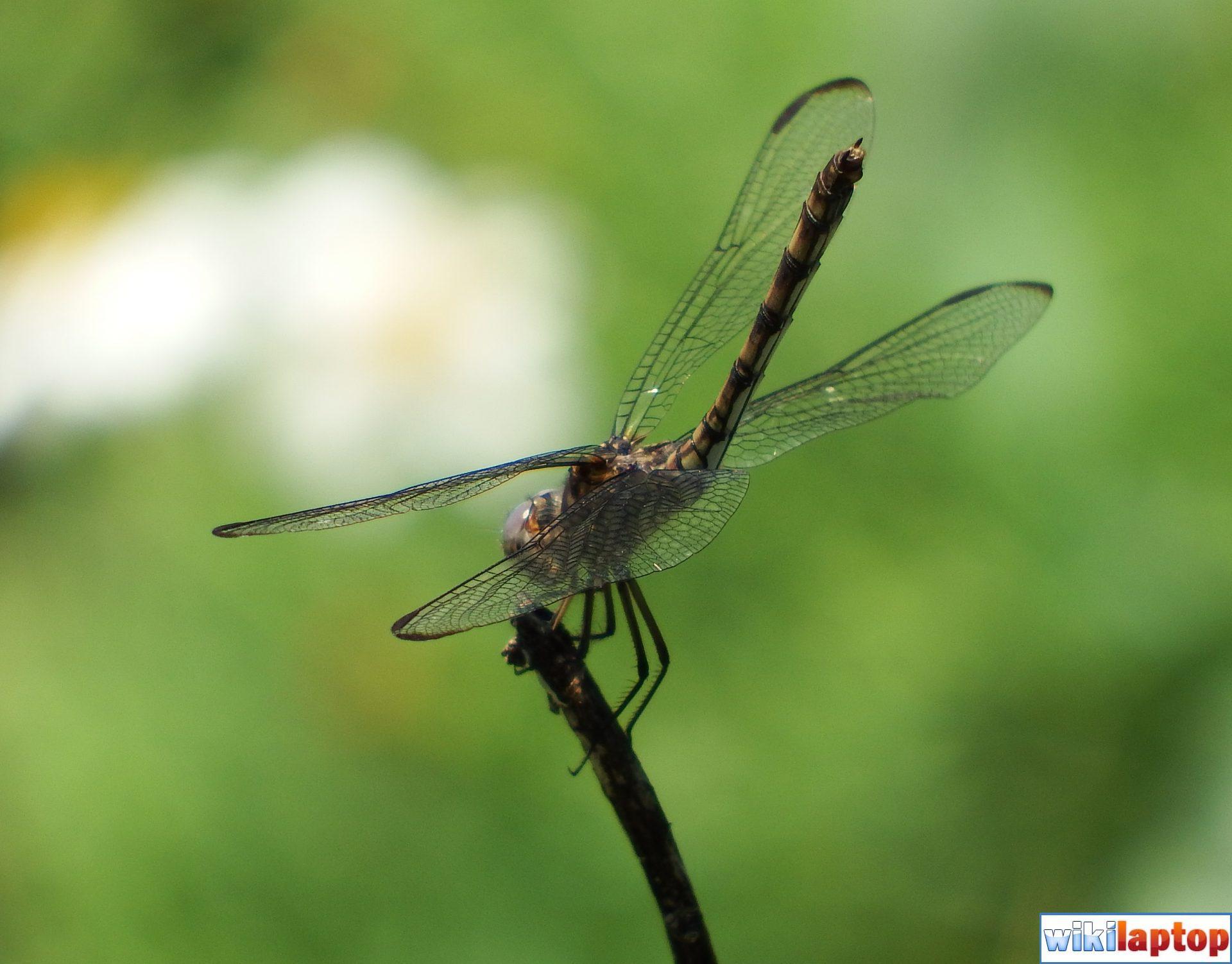 Hình ảnh chuồn chuồn đẹp nhất 14