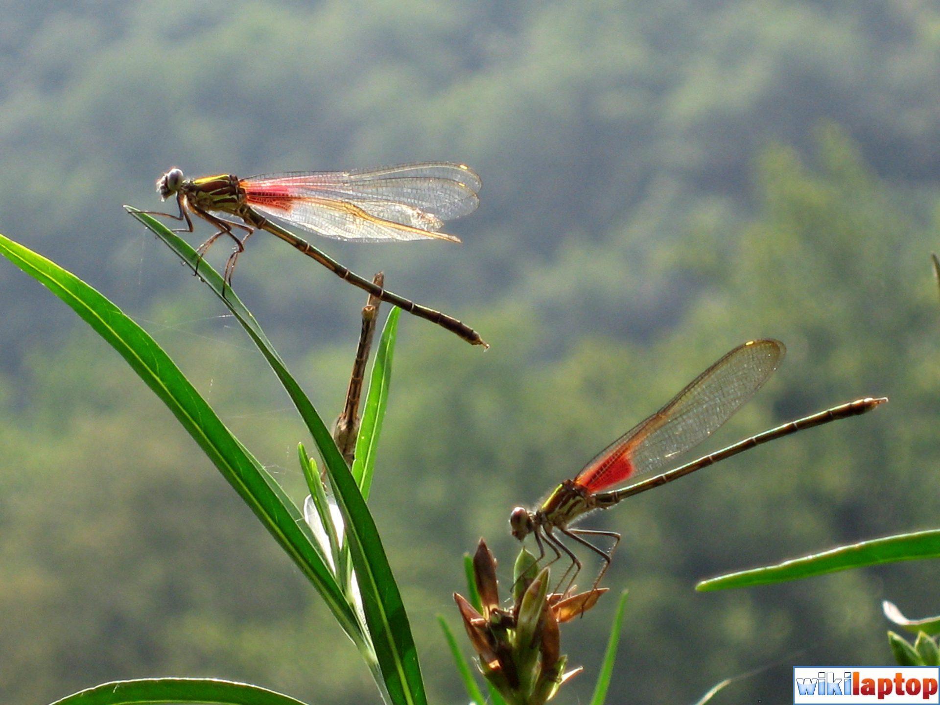 Hình ảnh chuồn chuồn đẹp nhất 15