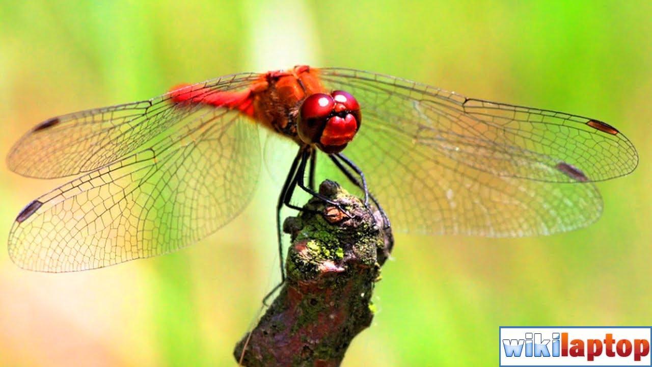 Hình ảnh chuồn chuồn đẹp nhất 23