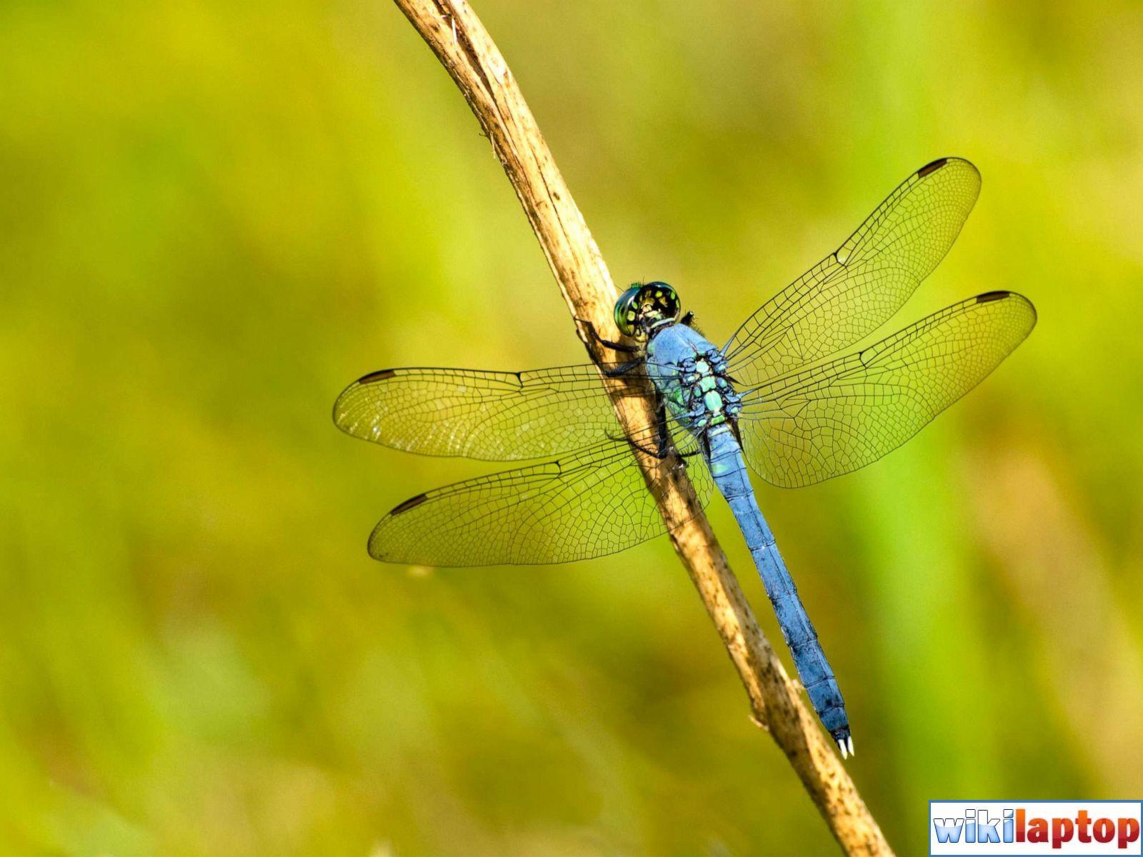 Hình ảnh chuồn chuồn đẹp nhất 26