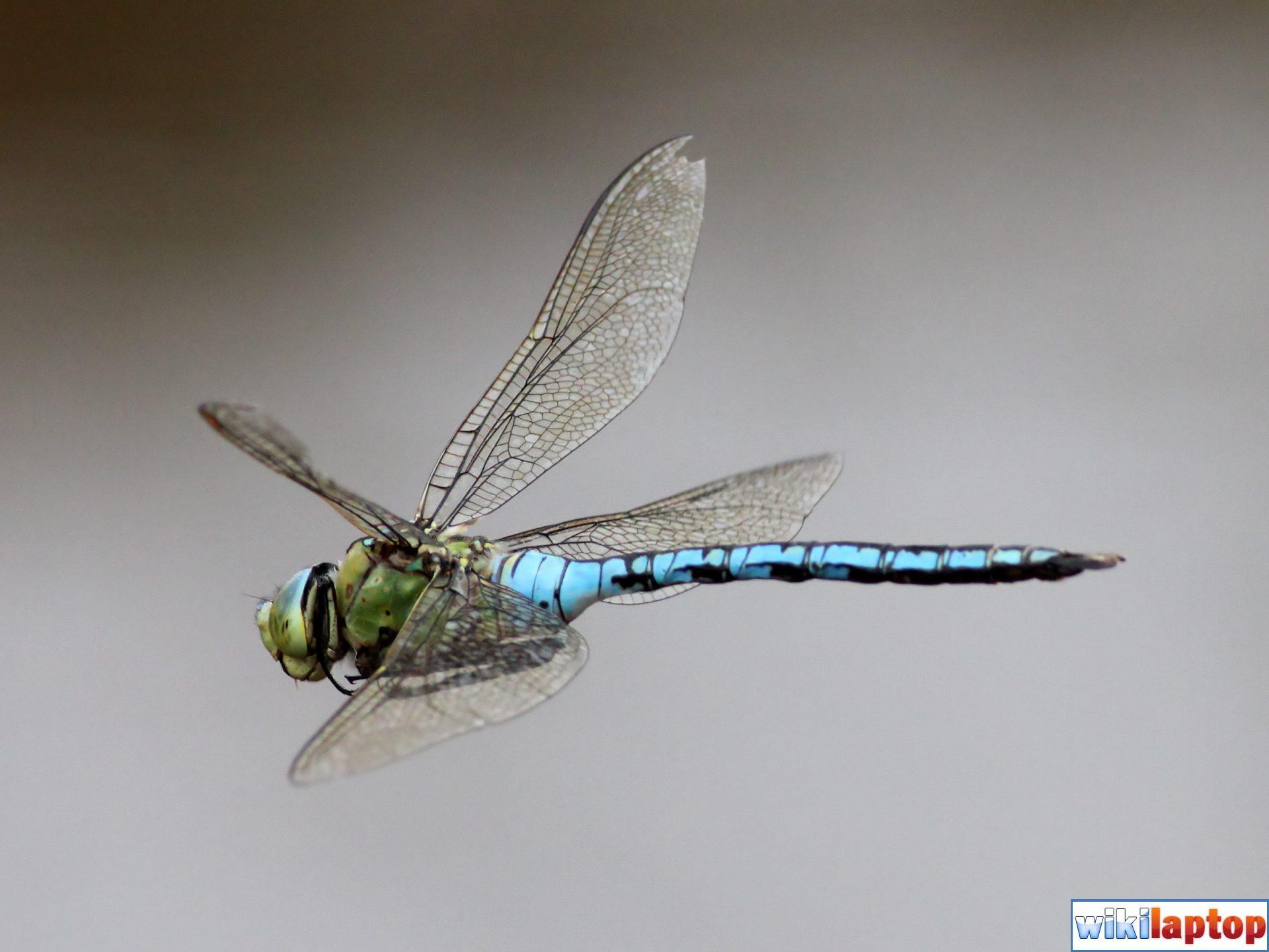 Hình ảnh con chuồn chuồn đẹp nhất 27