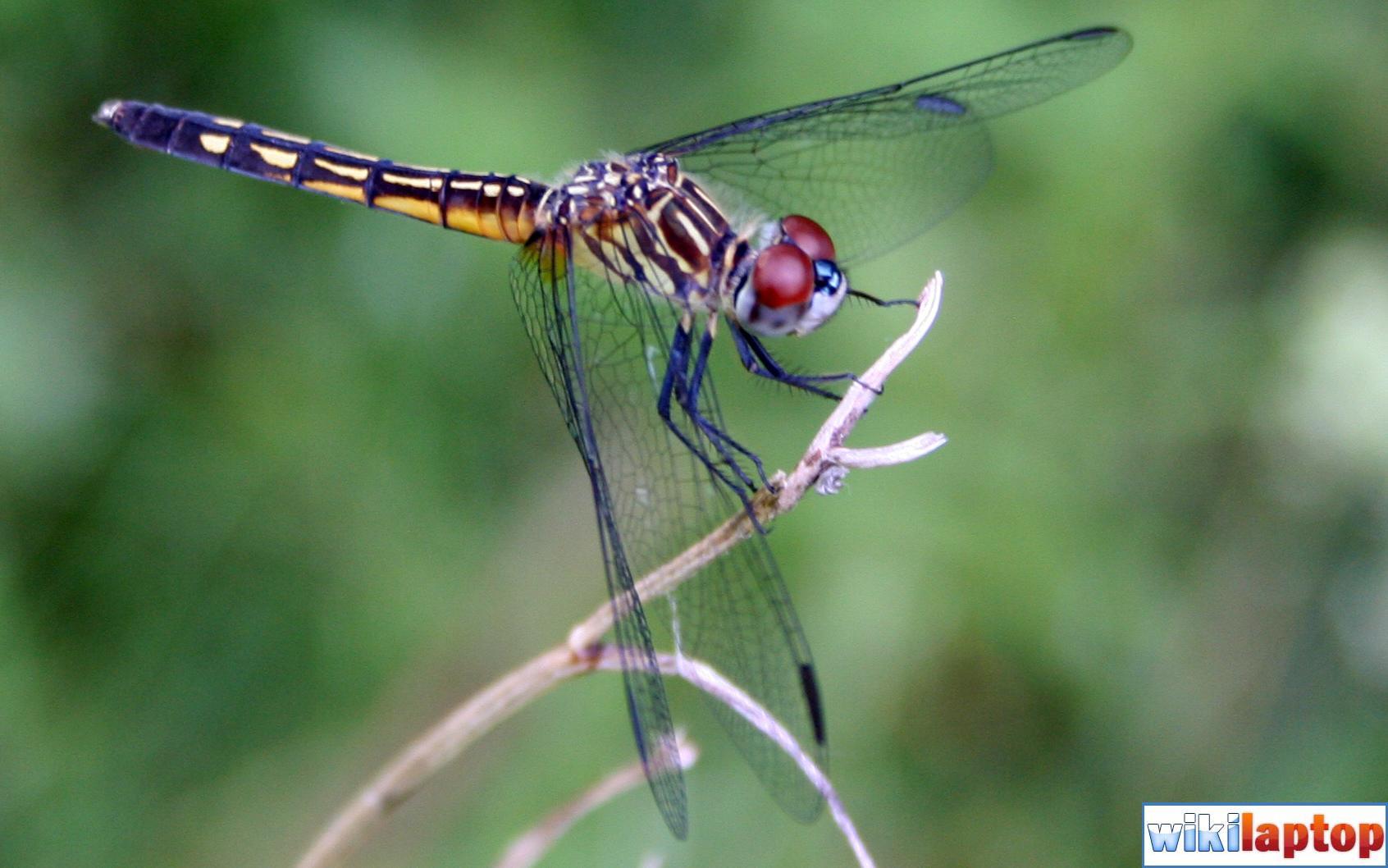 Hình ảnh chuồn chuồn đẹp nhất 30