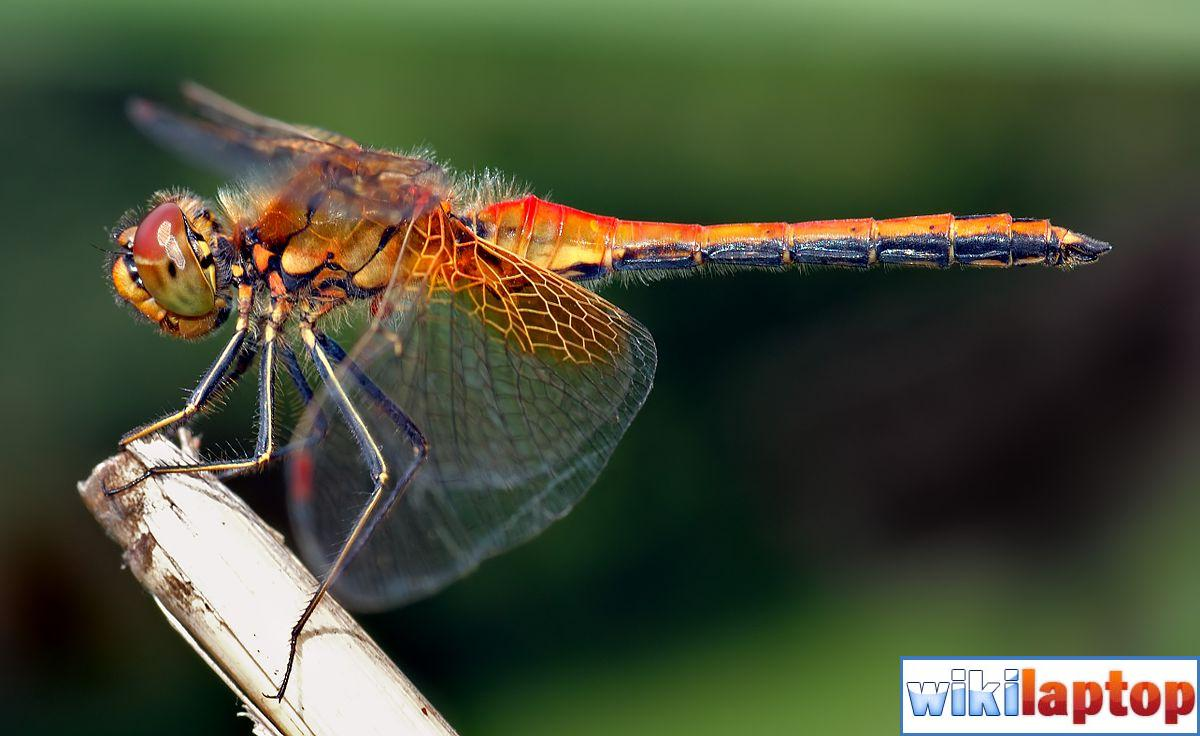 Hình ảnh chuồn chuồn 31 đẹp nhất