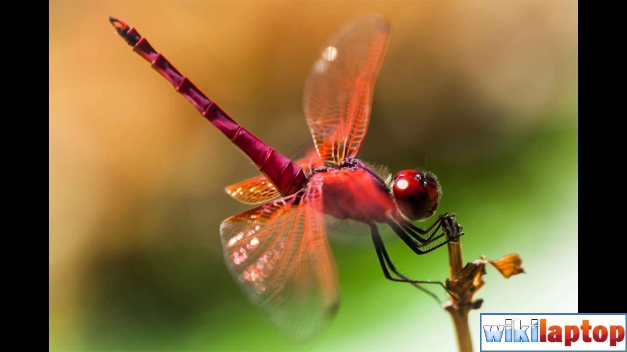 Hình ảnh chuồn chuồn 48 đẹp nhất