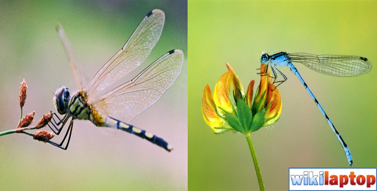 Hình ảnh chuồn chuồn 50 đẹp nhất