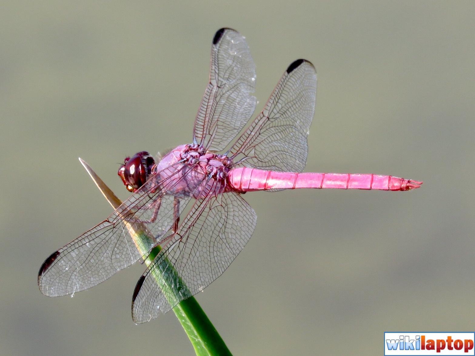Hình ảnh chuồn chuồn đẹp nhất 28