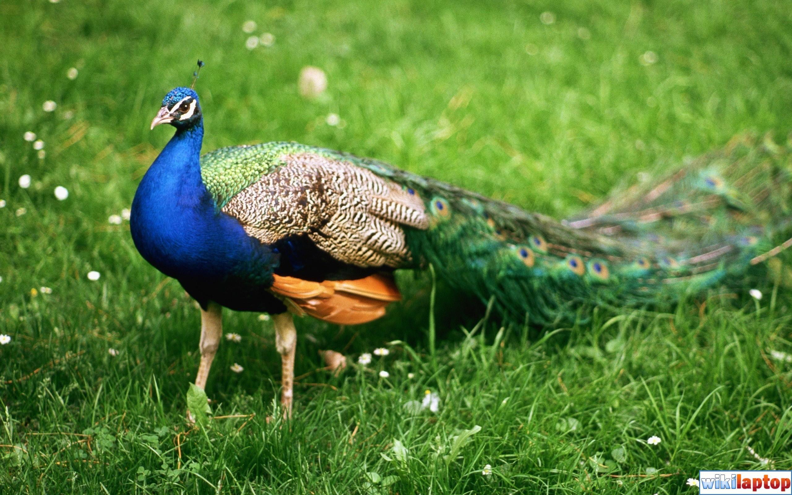 Tải hình ảnh chim công đẹp thế giới