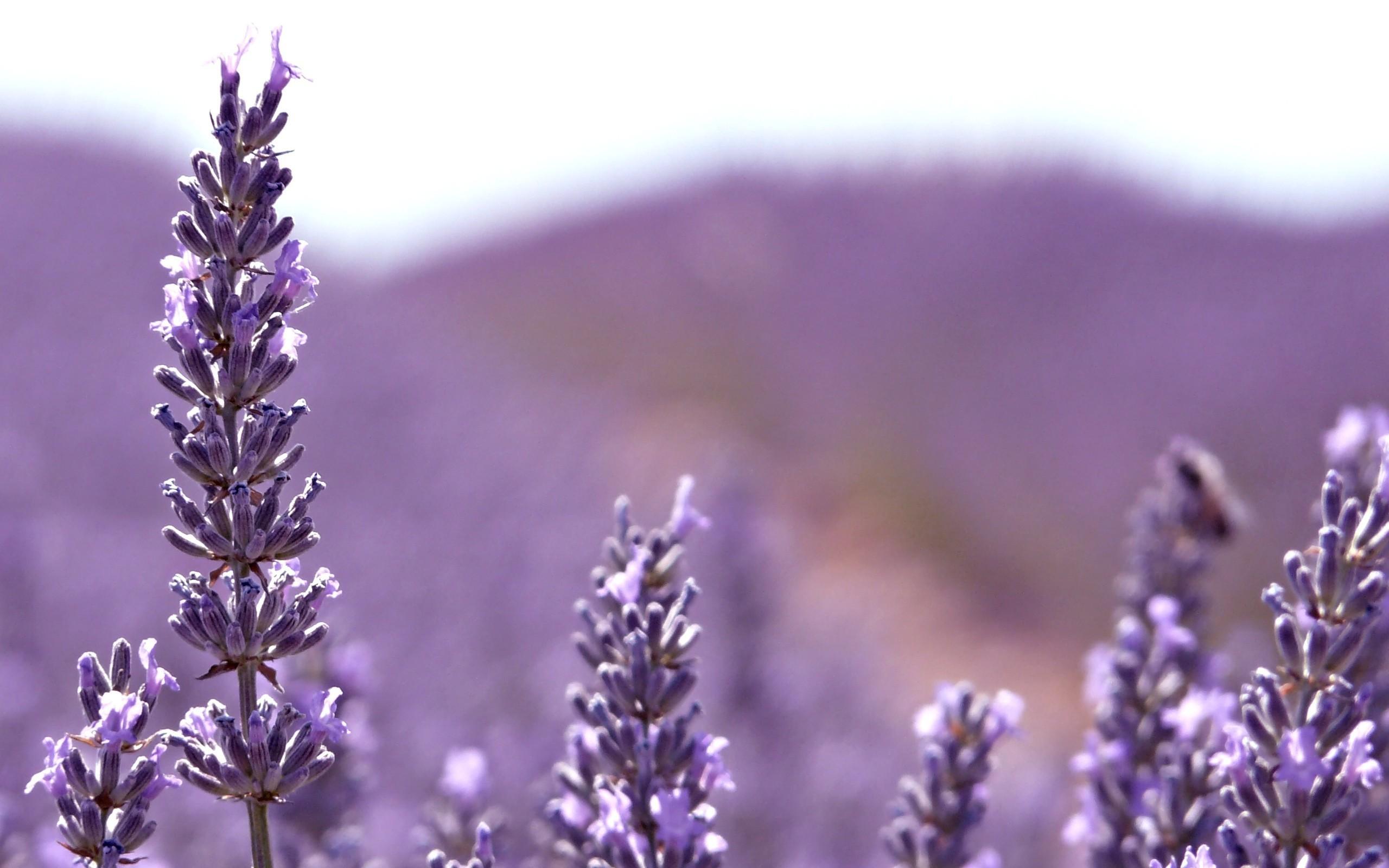 Hình nền hoa oải hương