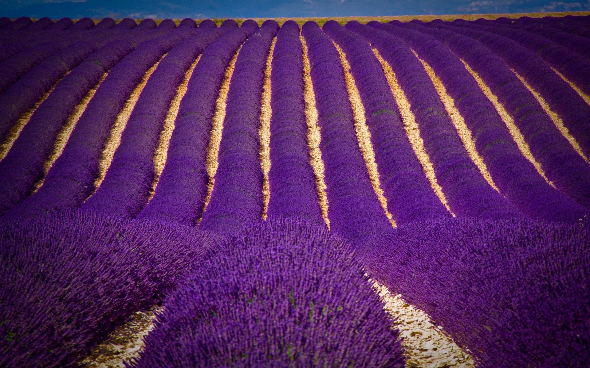 Tải hình ảnh hoa oải hương