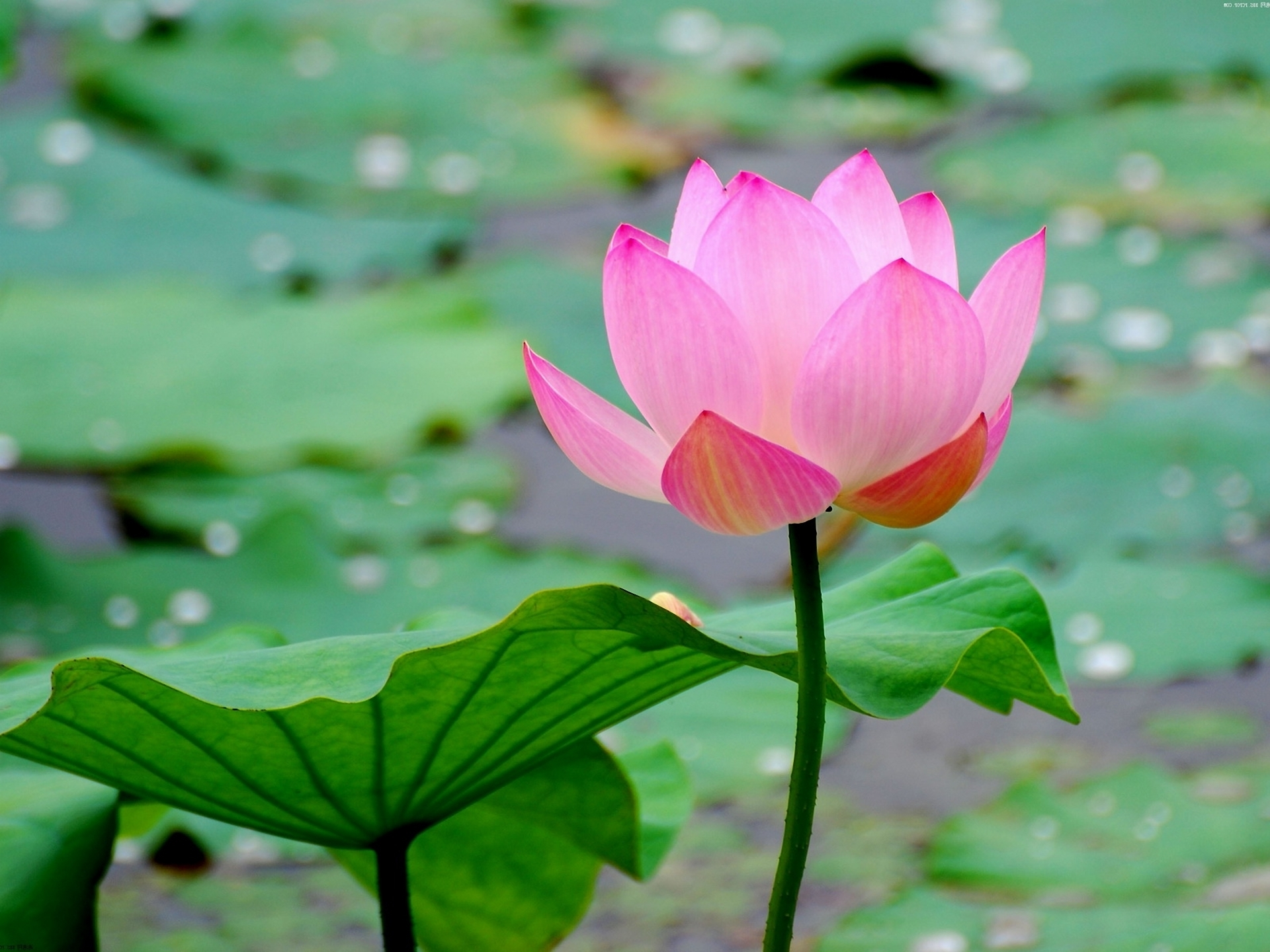 Ảnh hoa sen hồng đẹp