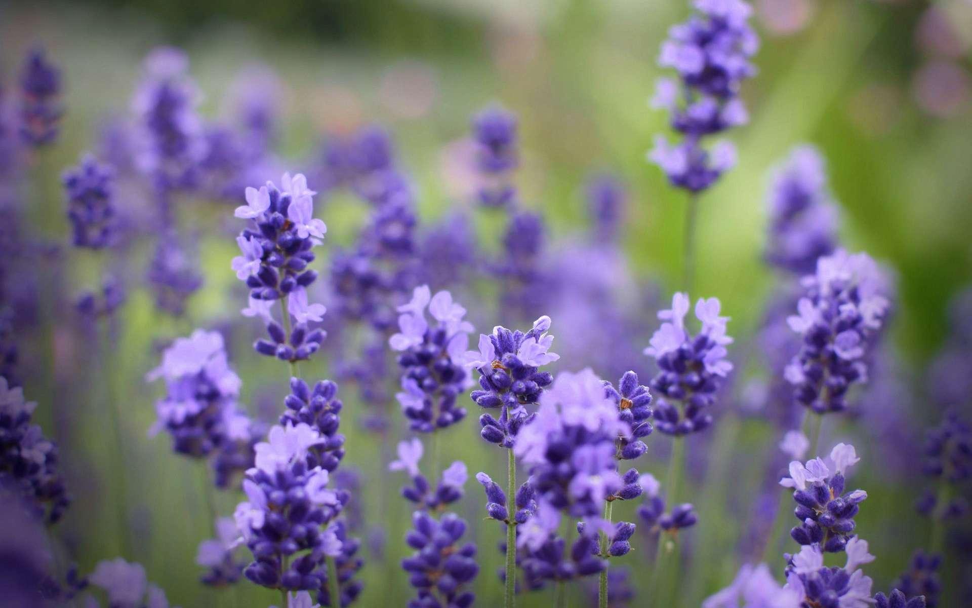 Ảnh đẹp về hoa oải hương